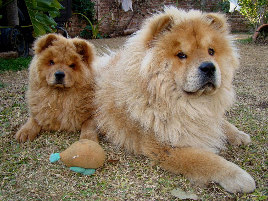 Chow Chow Dogs Breeds Chow Chow Dog Breed Facts Lovetoknow Boxer