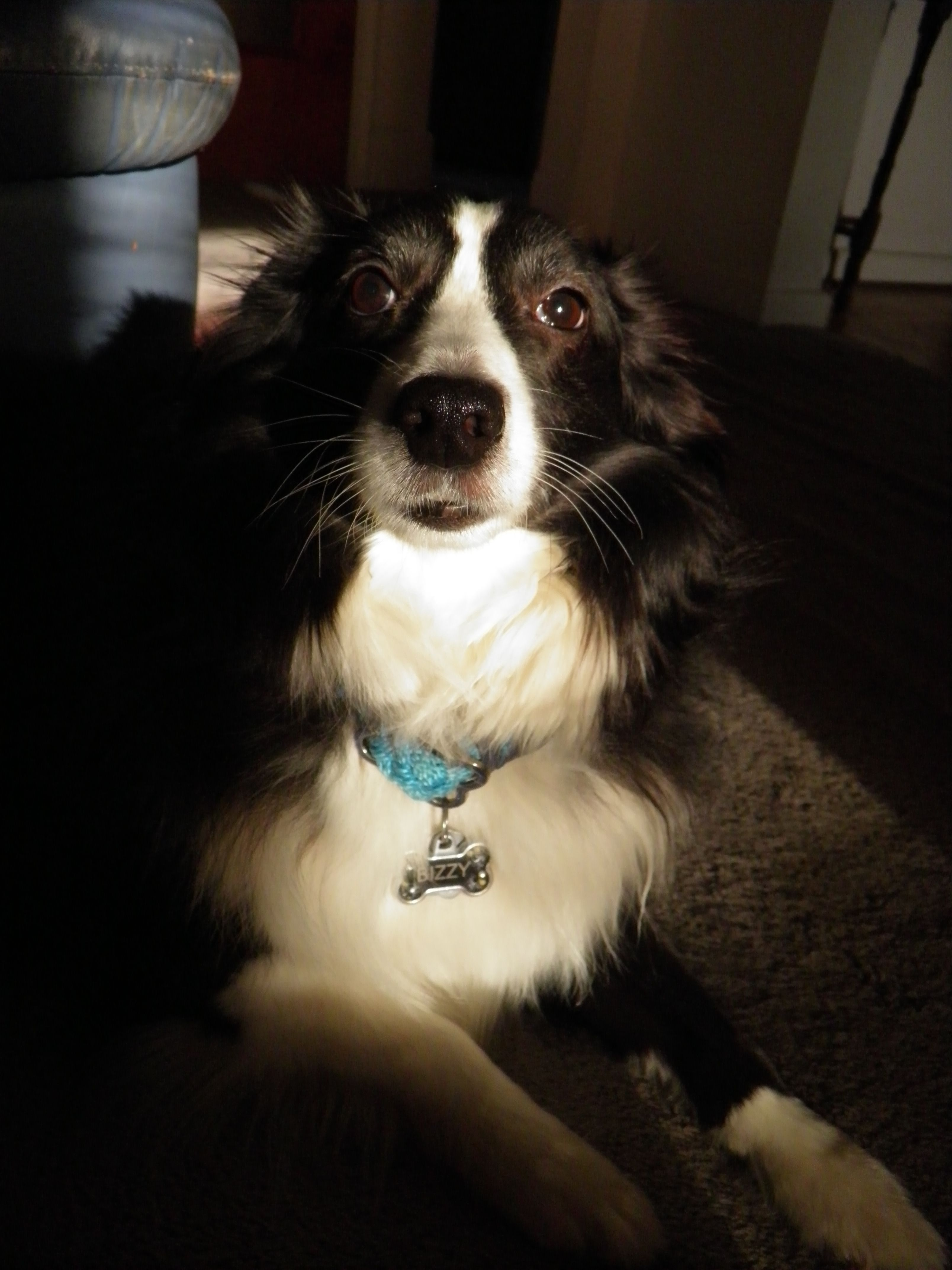 Sooo Handsome Border Collie Puppies Dog Day Afternoon