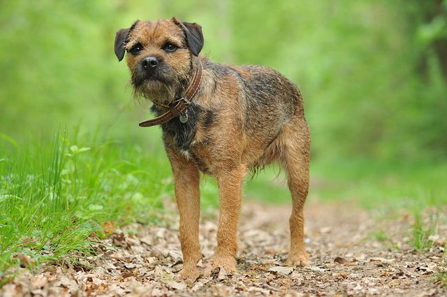 Border Terrier Animals Border Terrier No Better Breed
