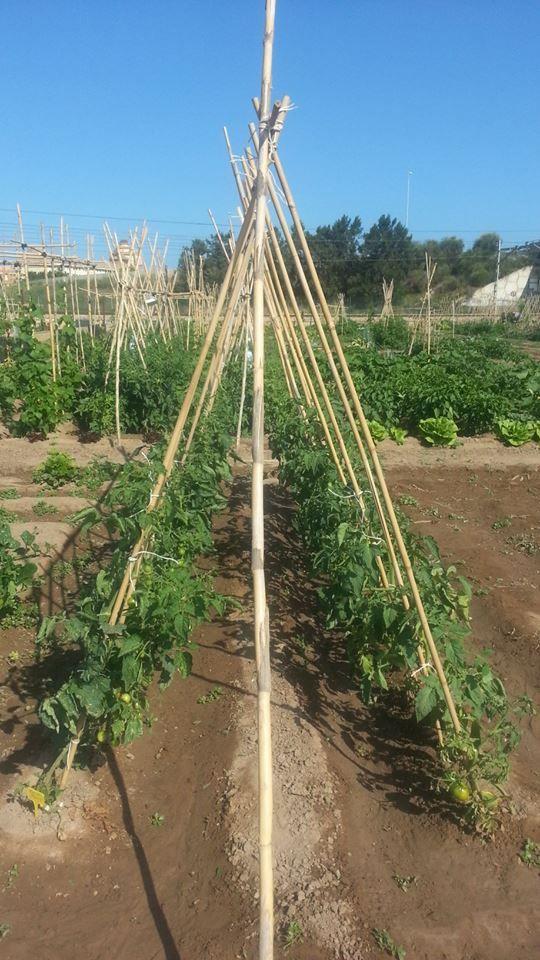 Hoy Huertos urbanos Alboraia quiere daros unos consejos para el cultivo del tomate. La temperatura optima para su crecimiento se encuentra en unos 25 grados centigrados. Prefiere suelos ricos en materia organica (como el de Alboraia).