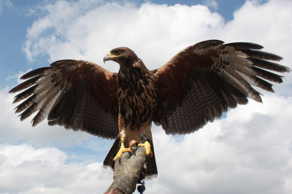birds of prey essay World working group on birds of prey and owls, berlin and mme/birdlife hungary, budapest virani, m and dm harper 2004 a comparative study of the breeding behaviour of the augur buzzard, buteo augur , in two different land-use areas in southern lake naivasha, kenya.