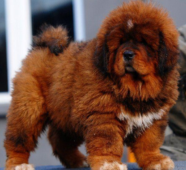 Tibetan Mastiff Puppies Affectionate