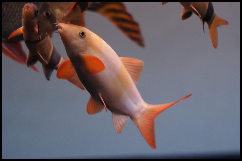 Image Result For Platinum Clown Loach