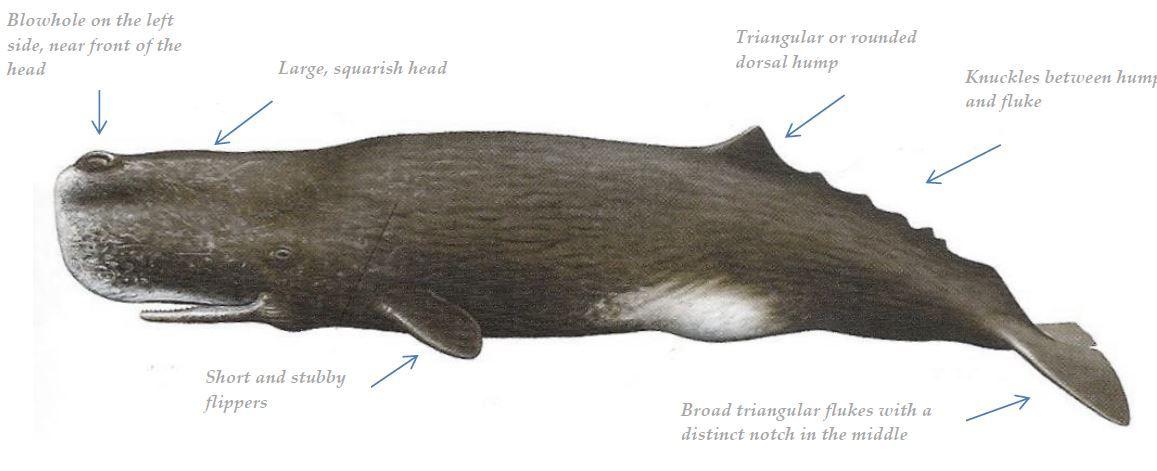 Sperm whale anatomy. http://www.azoreschoice.com/holidays/all ...