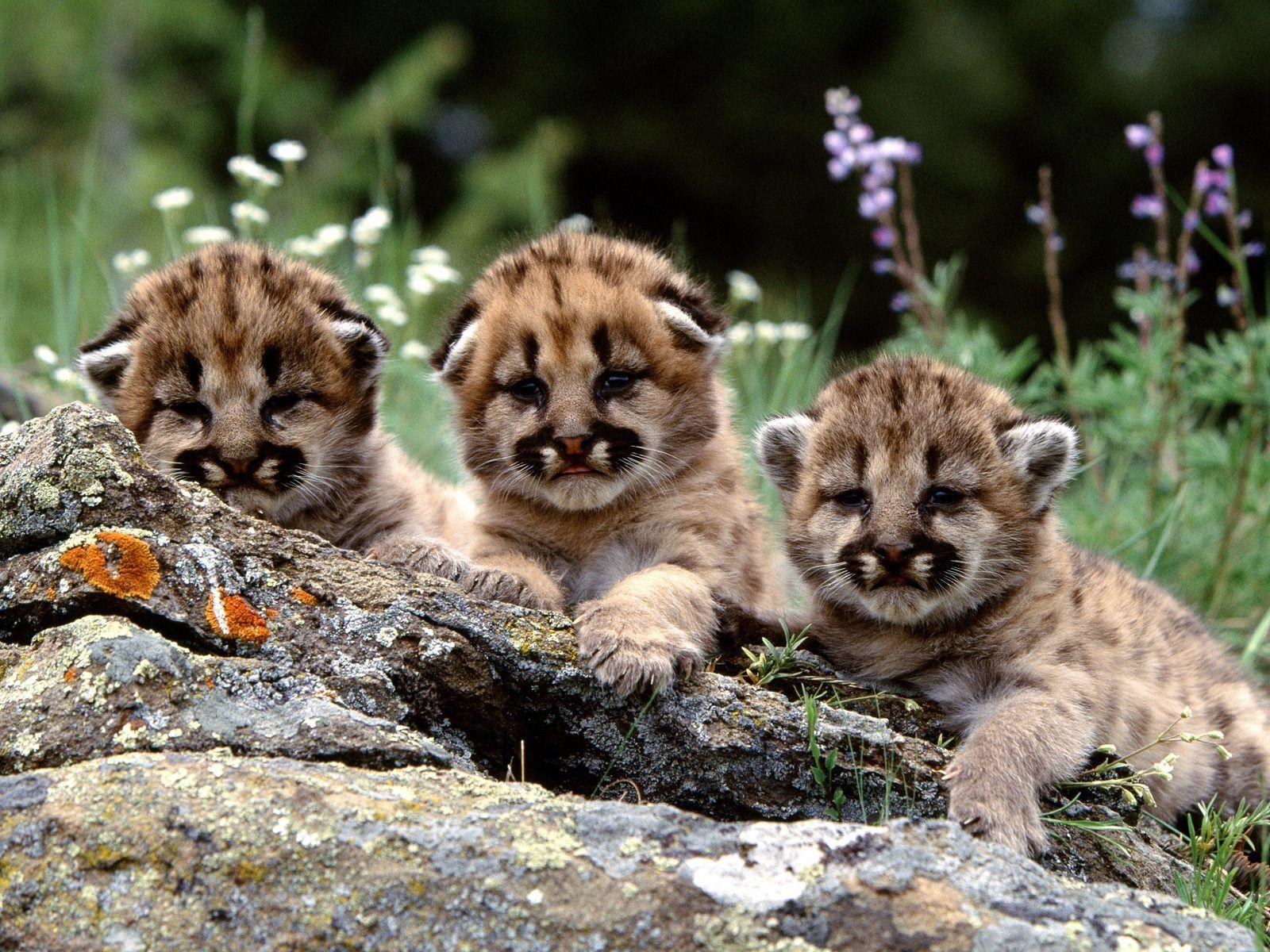 Mountain lion cubs  cat  Bare Beauty  Pinterest  Lion cub
