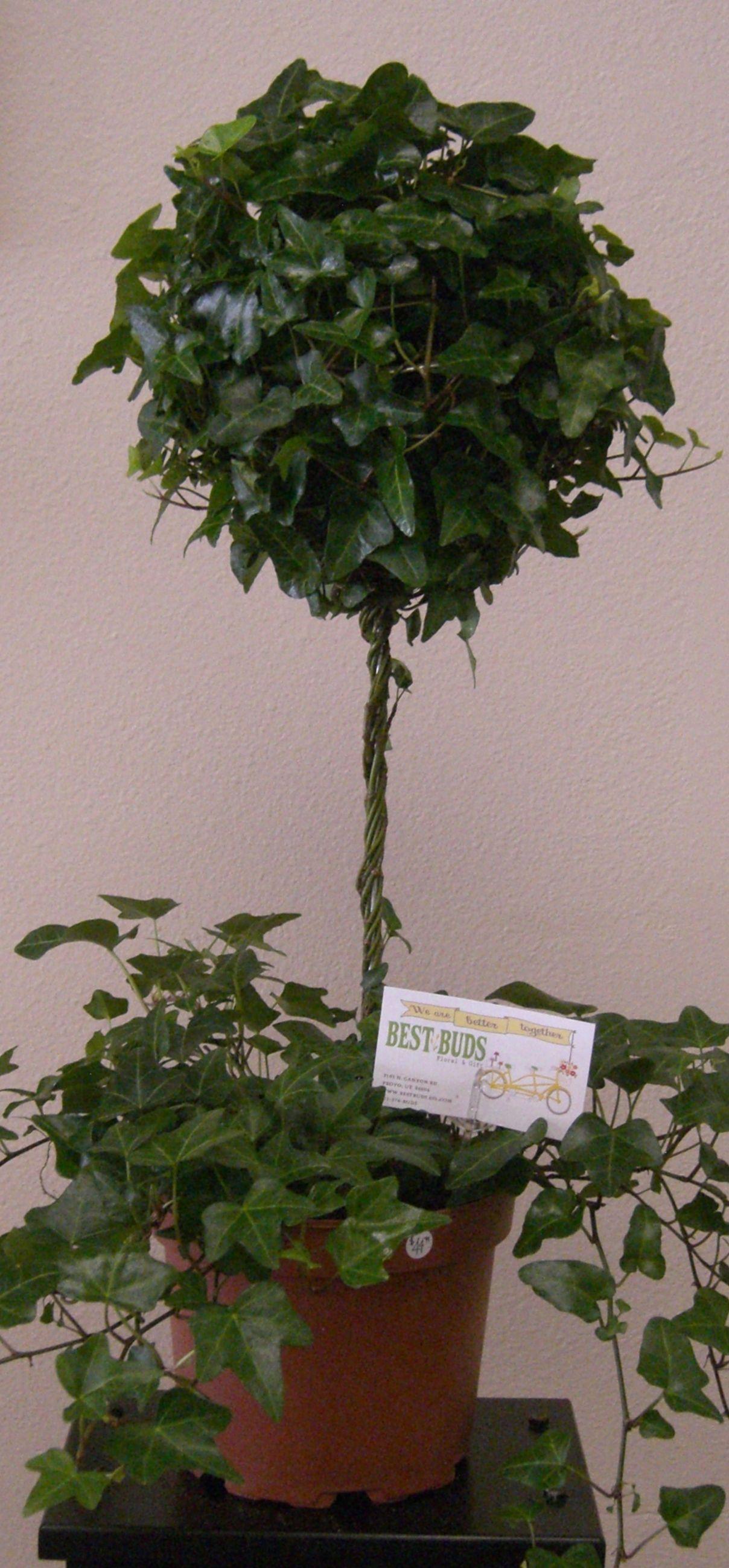 ivy topiary tree