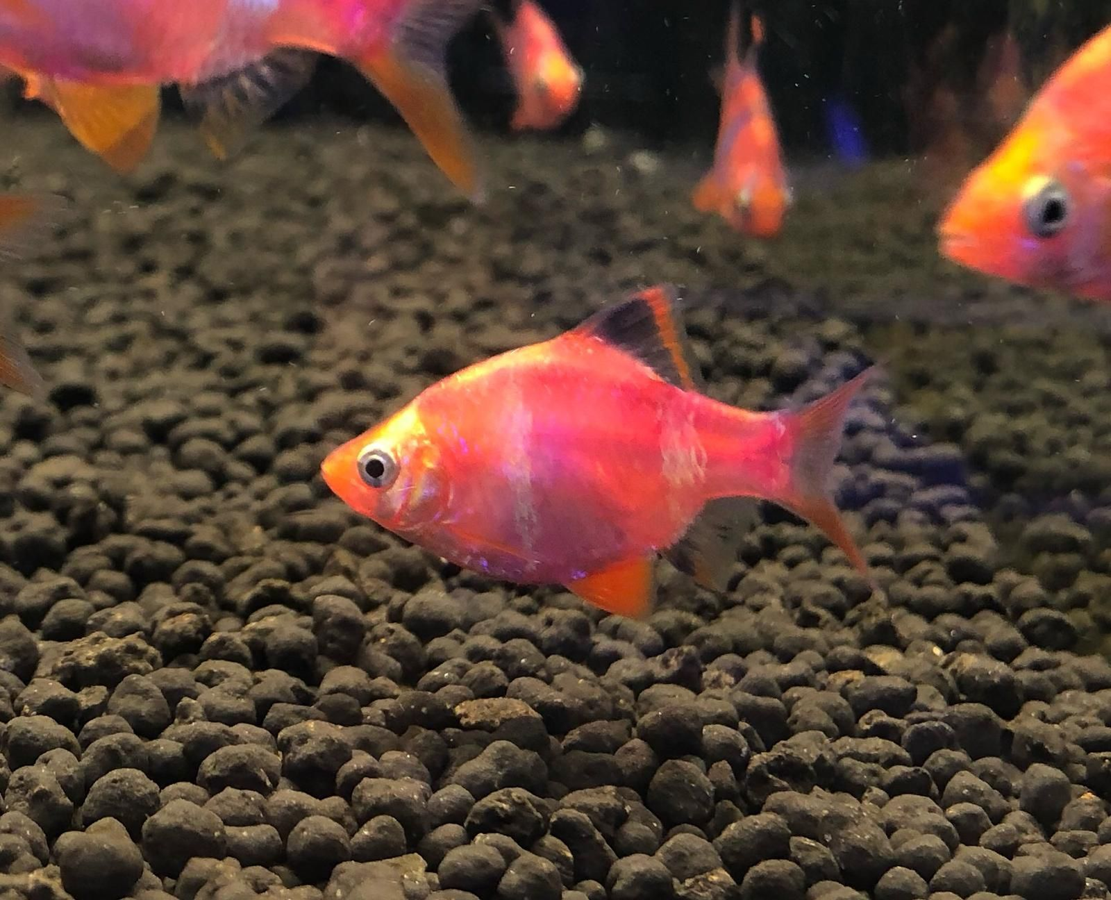 Available Online For Ordering Now At Our Store Red Tiger Barb Check It Out Here Http Www Freshnmarine Com Products Red In 2020 Live Animals Fish Pet Tropical Fish