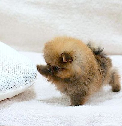 Pomeranian Puppies: Facts And Adorable Pictures #cuteteacuppuppies