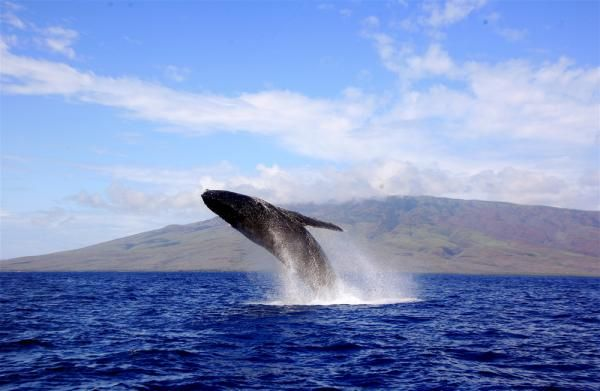 Have a whale of a time in Maui, Hawaii