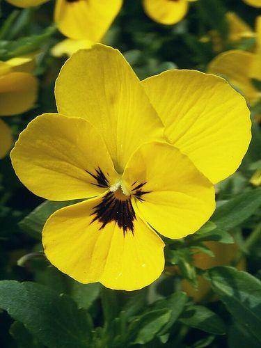 Yellow Pansy Pansies Flowers Pansies Language Of Flowers