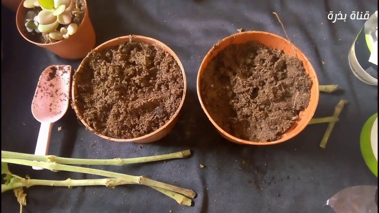 زراعة و تكاثر نبات العطر العطرة عطرشة و فوائد العطرية Pelargonium Graveolens Https Youtu Be Elj Kbiclbi Desserts Food Sugar Scrub