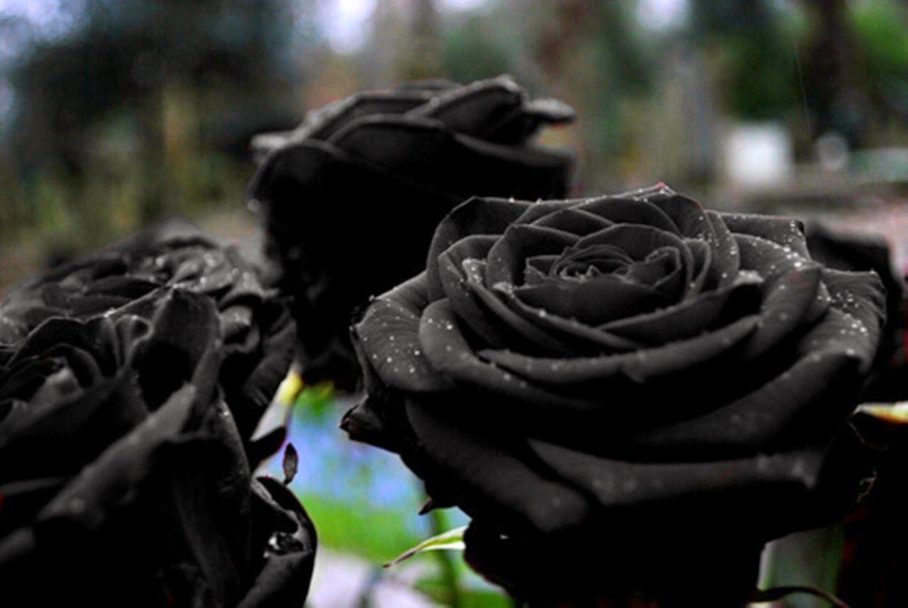 Flores Negras Parte 1 Bellas Imagenes Pinterest Rosas Negras