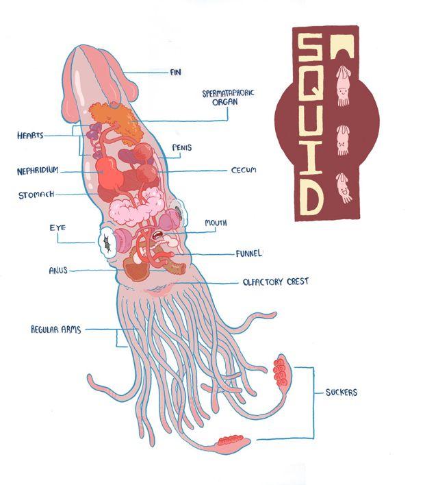 Squid Anatomy Anatomy Animal Science Marine Animals
