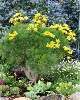 """2011 garden addition, Coreopsis gigantea """"Giant Sea Dahlia"""""""
