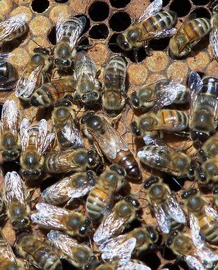 russian bee breeders association