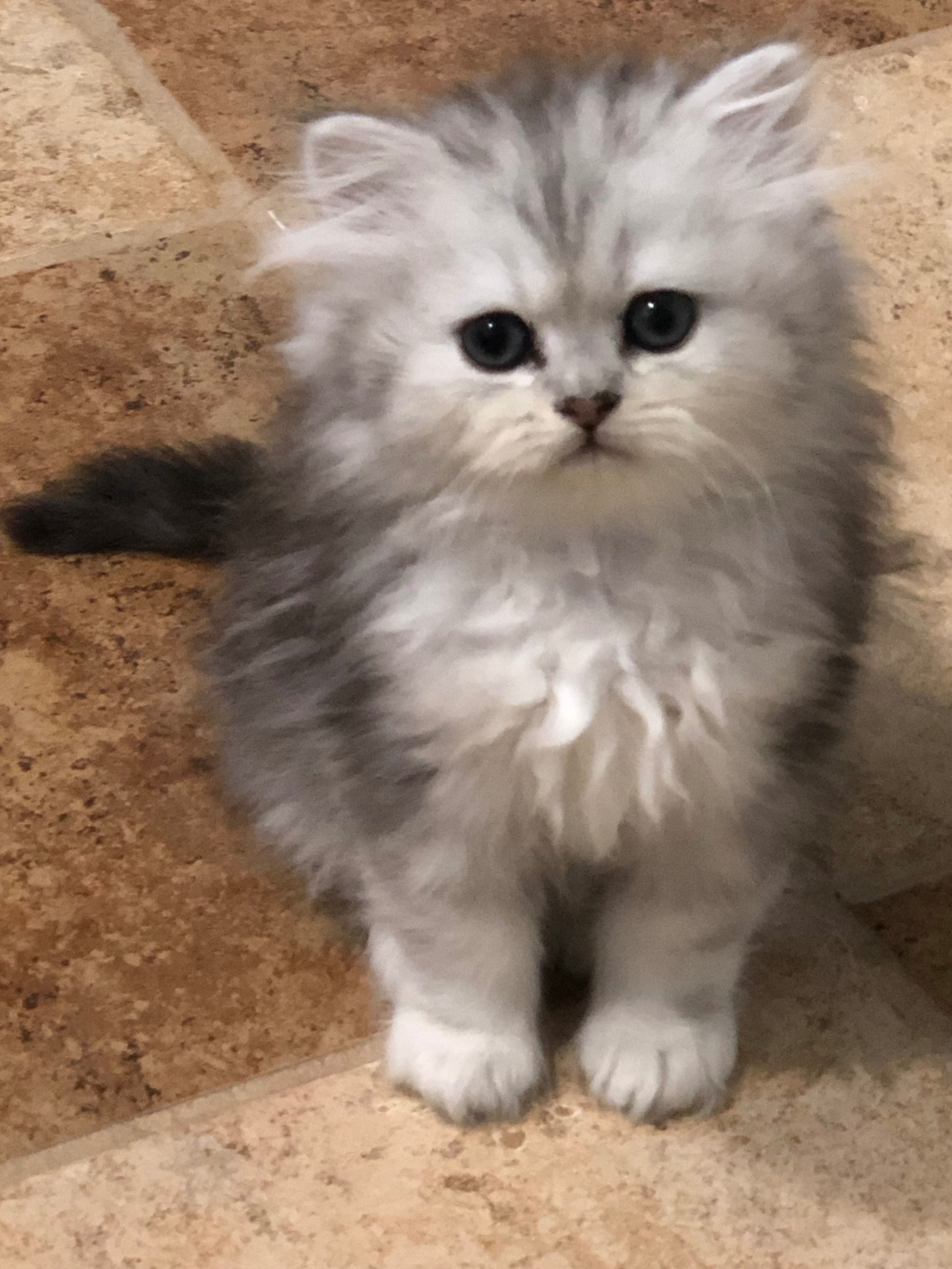 Powderpuff Persian Kitten Persian Kittens For Sale Persian