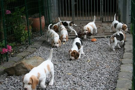 Beagles with their noses to the ground- the classic Beagle pose