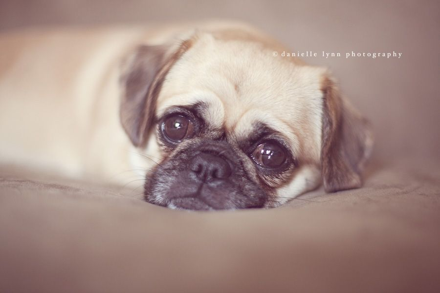 Little Pug X Shih Tzu Pet Photography Pet Photographer