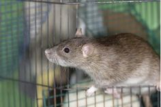 The Best Way to Clean a Pet Rat's Cage | eHow