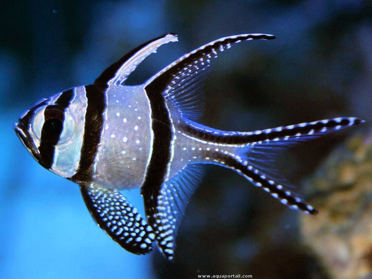 banggai cardinalfish - photo #6