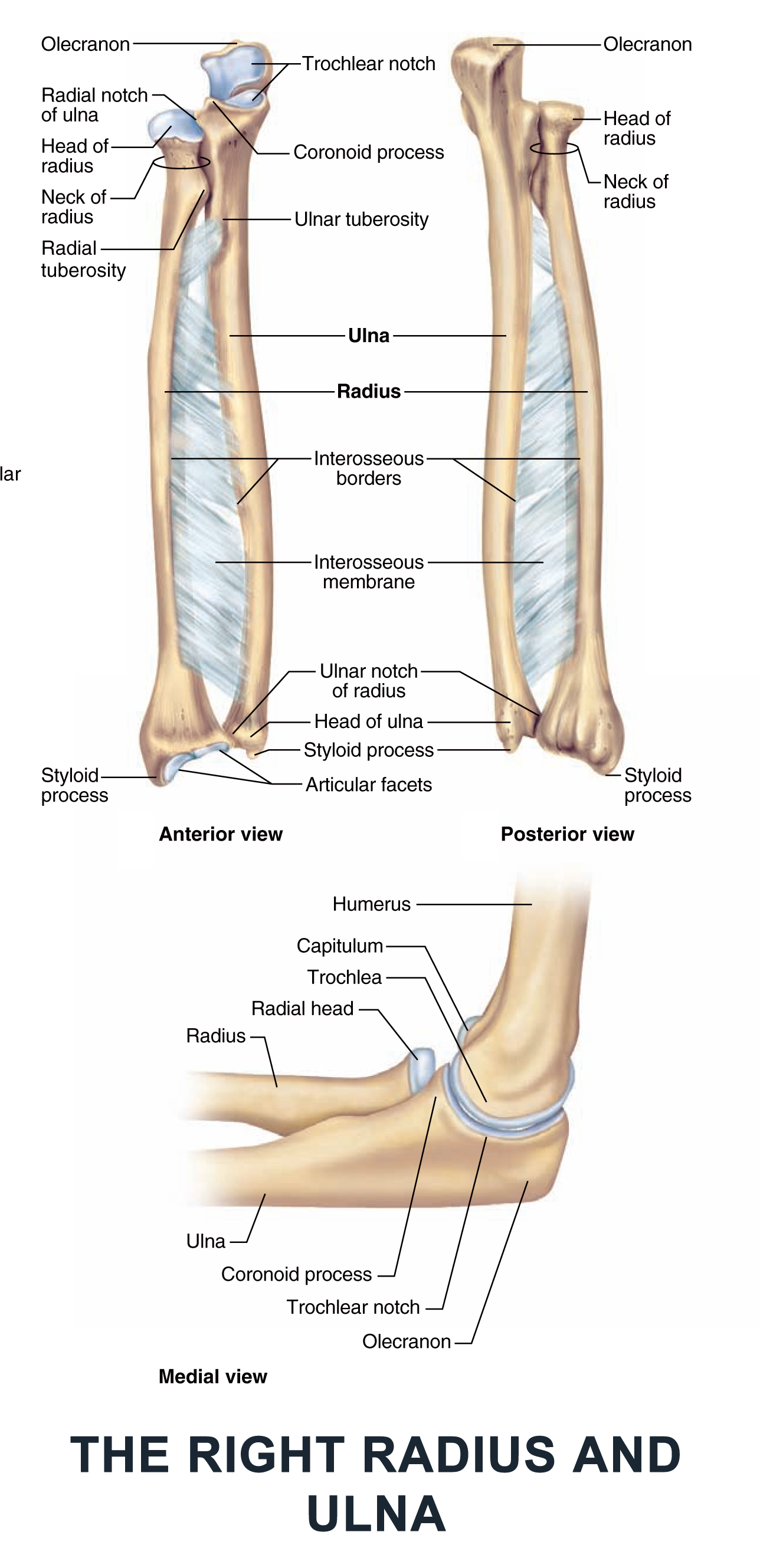 The Right Radius and Ulna - #anatomy images illustrations #anatomy ...