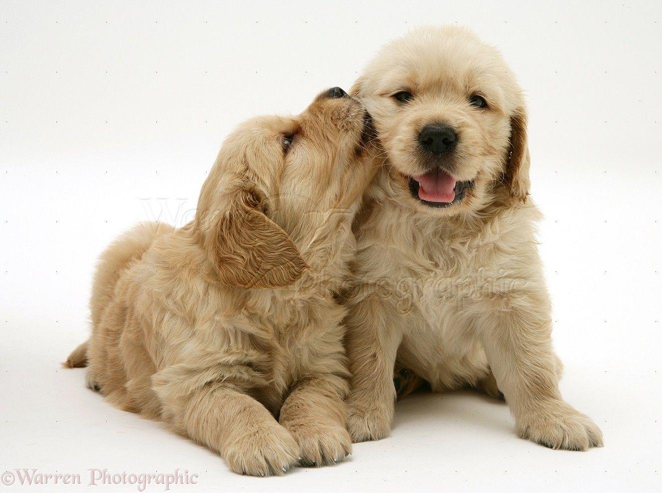 Cute Golden Retriever Puppies Kissing Puppies Cute Puppies Retriever Puppy