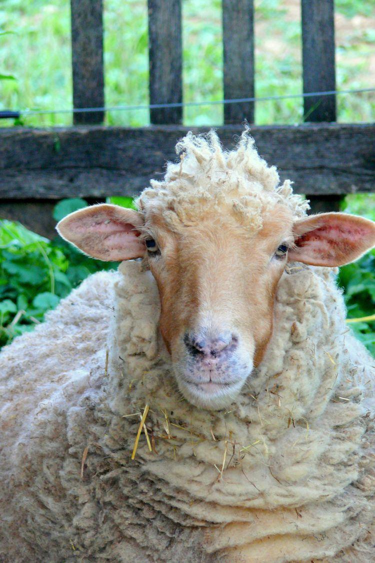 Saved Photo | Sheep breeds. Sheep. Sheep. lamb