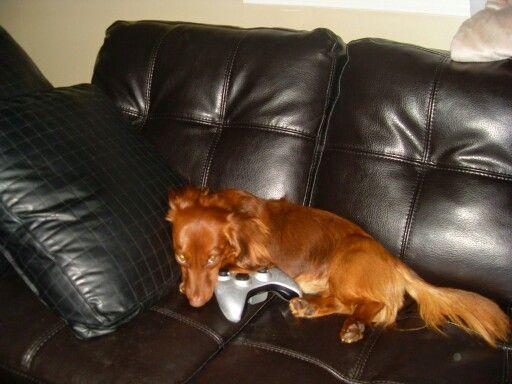 gamer dog dachshund pinterest dachshunds and dog