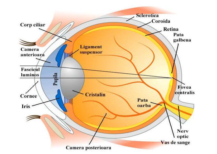 cfe036946fb Componentele globului ocular