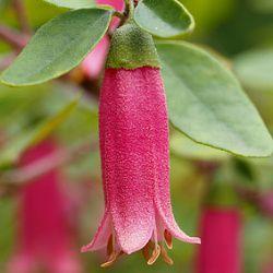 Australische fuchsie exotische zimmerpflanzen pinterest fuchsie pflanzen und exotische for Exotische zimmerpflanzen