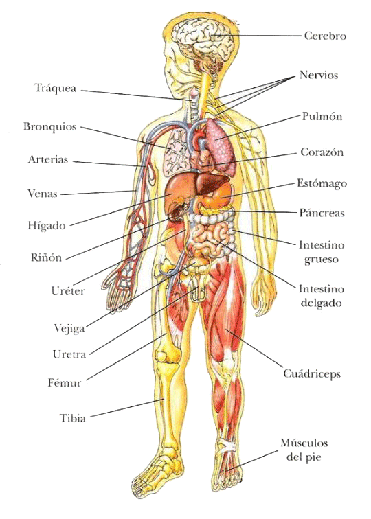 Pin On Cuerpo Humano