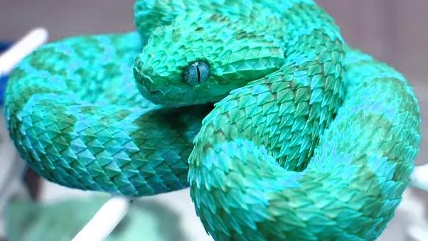 Kartinki Po Zaprosu Spiny Bush Viper Schlangen Reptilien Echse