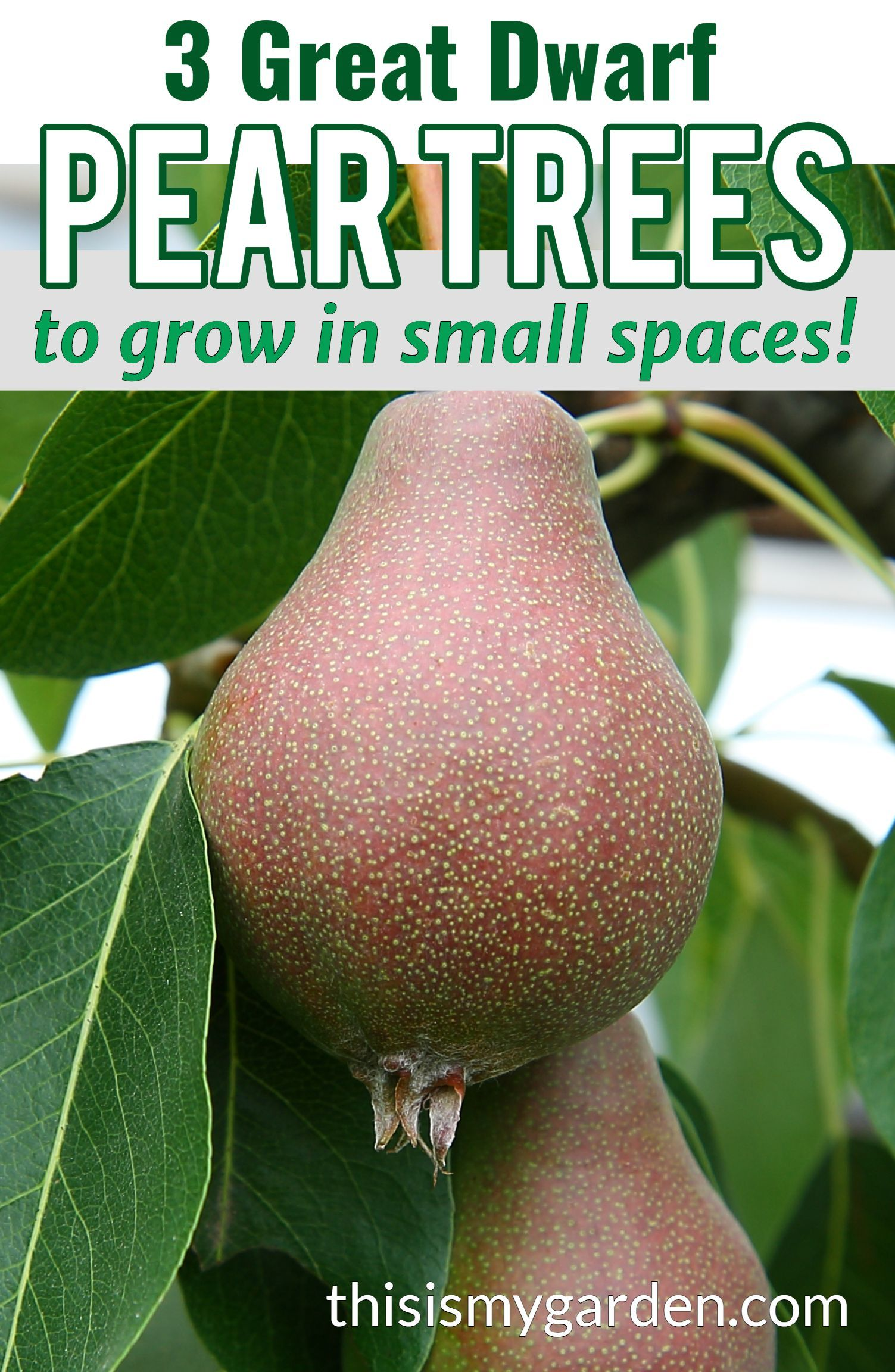 Planting Dwarf Pear Trees 3 Great Trees To Fit Almost Any Landscape In 2020 Growing Fruit Pear Dwarf Fruit Trees Dwarf Fruit Trees Fruit Trees Backyard Fruit Trees In Containers