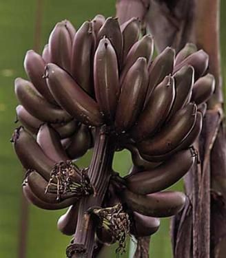 Musa Banana Dwarf Red This Very Sweet Lady Finger Fruit Is The
