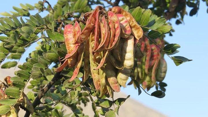 Tara caesalpinia spinosa es un rbol que posee un inmenso potencial m dico alimenticio e - Caesalpinia gilliesii cultivo ...