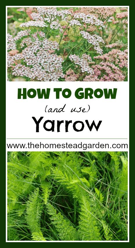 How to Grow and Use Yarrow – Medicinal Herb Garden Plan