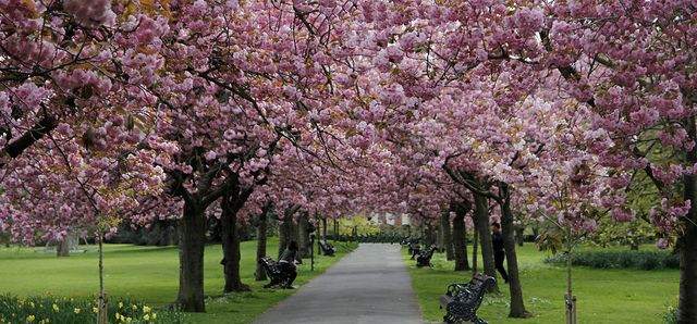 Cherry Blossom Greenwich Blossom Beautiful Nature Cherry Blossom