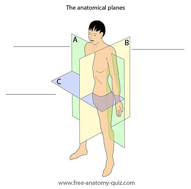 The anatomical planes | Anatomy & Physiology Lessons | Pinterest