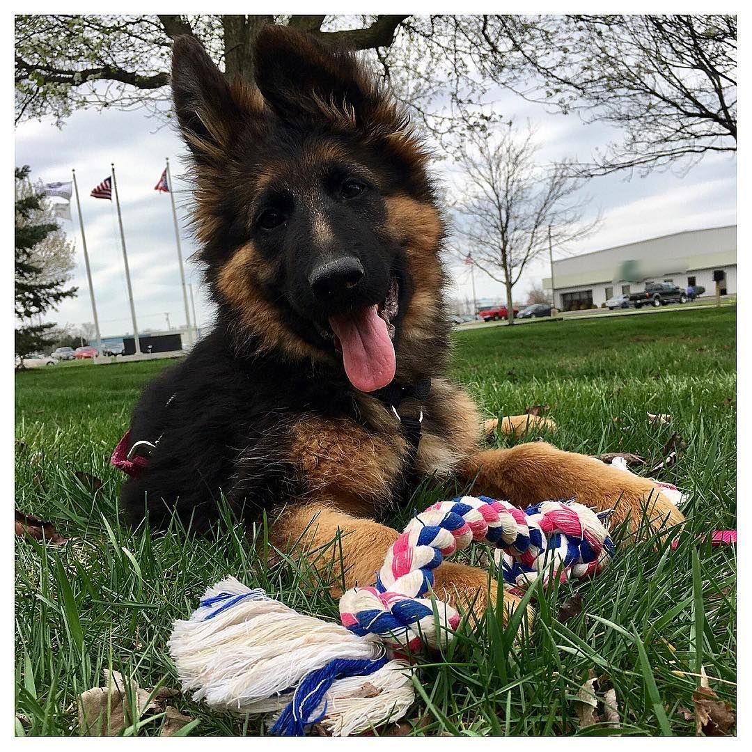 GSD Puppy-Mischa
