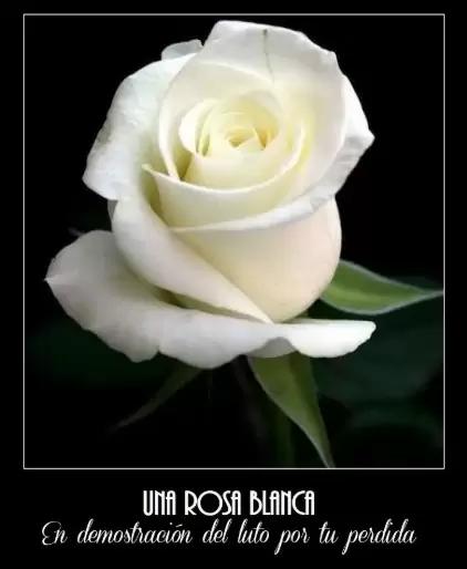 Imagenes De Rosas Blancas De Luto Con Frases Para Compartir Rosas Blancas Rosas Blancas Con Frases Rosa De Luto