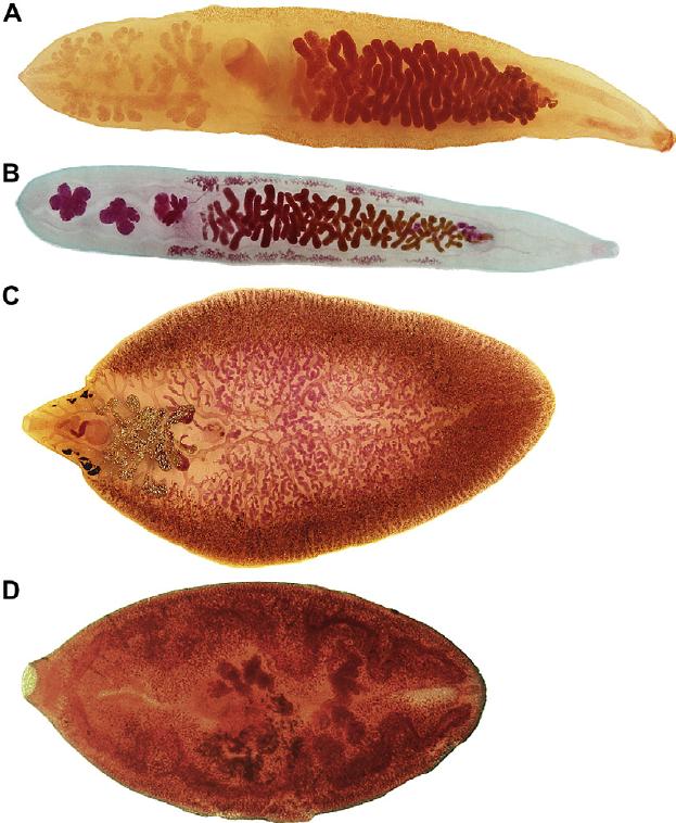 trematode fascioliasis hogyan lehet magánál megszabadulni a papillómától