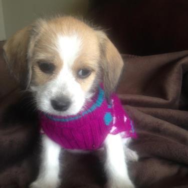 Shitzu Beagle Mix Beagle Mix Beagle Puppies