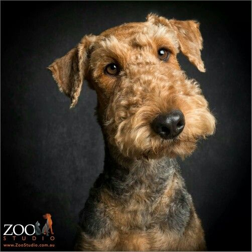 Beauty Dale Airedale Dogs Airedale Terrier Kittens And Puppies
