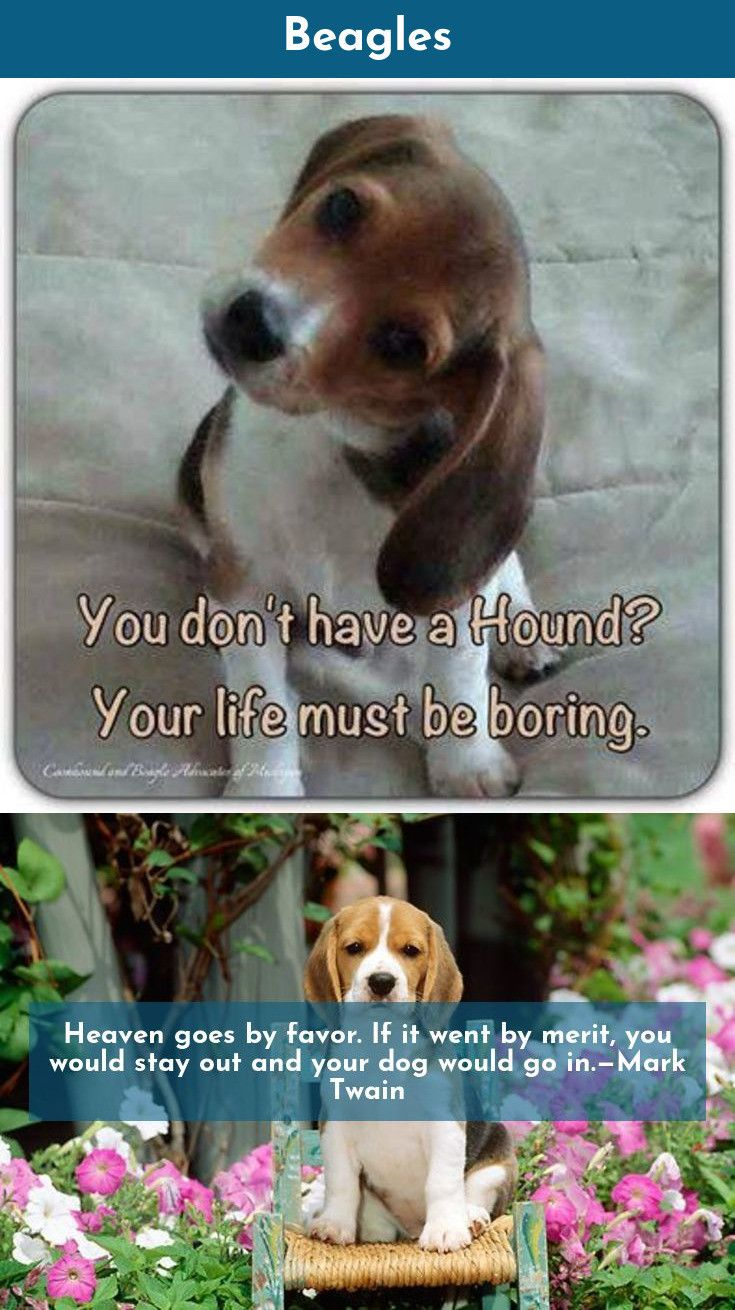 Read More About Beagles Beagles Follow The Link To Find Out More
