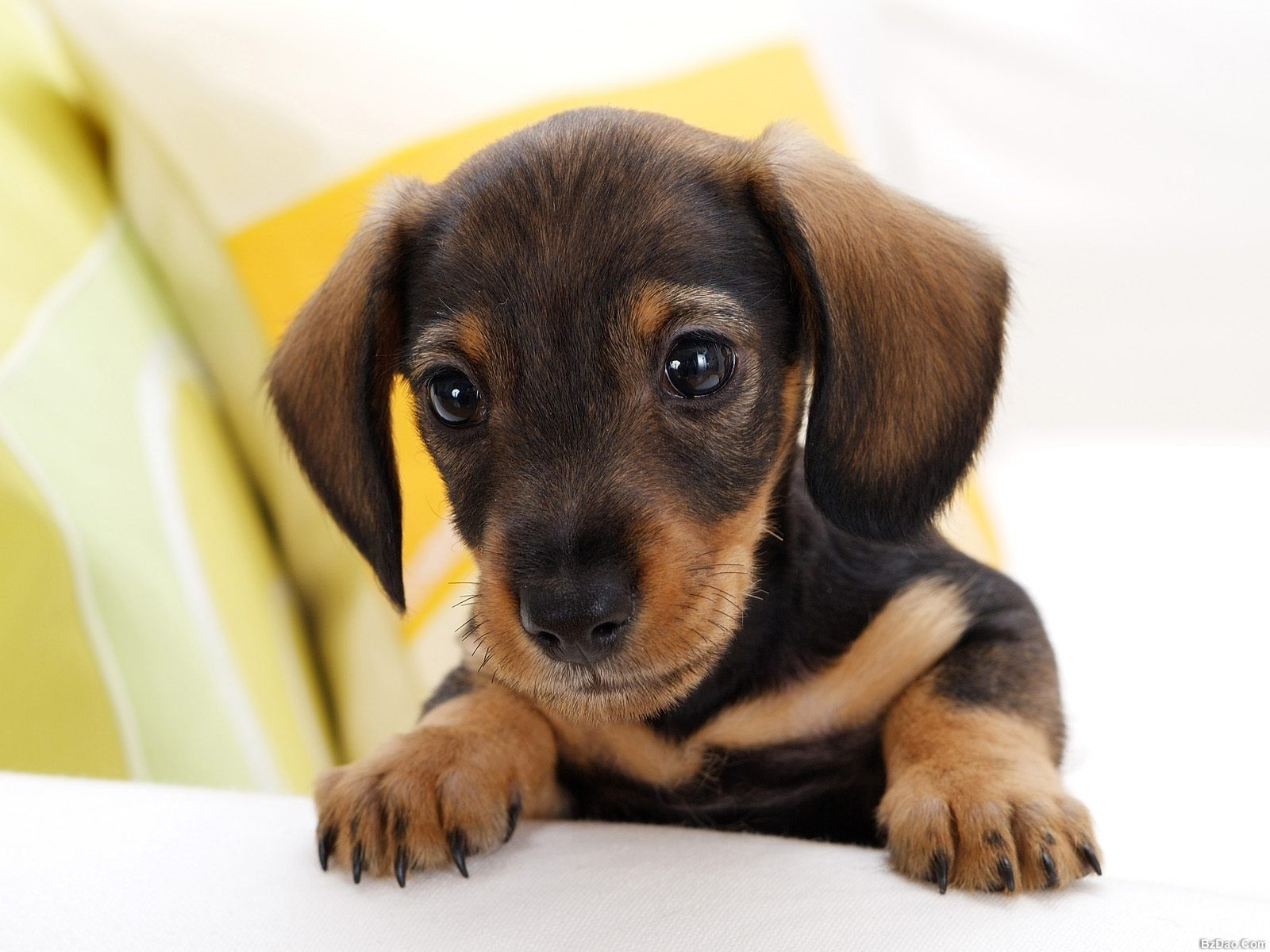 Dachshund Puppy Wallpaper Dachshund Puppies Dog Breeds