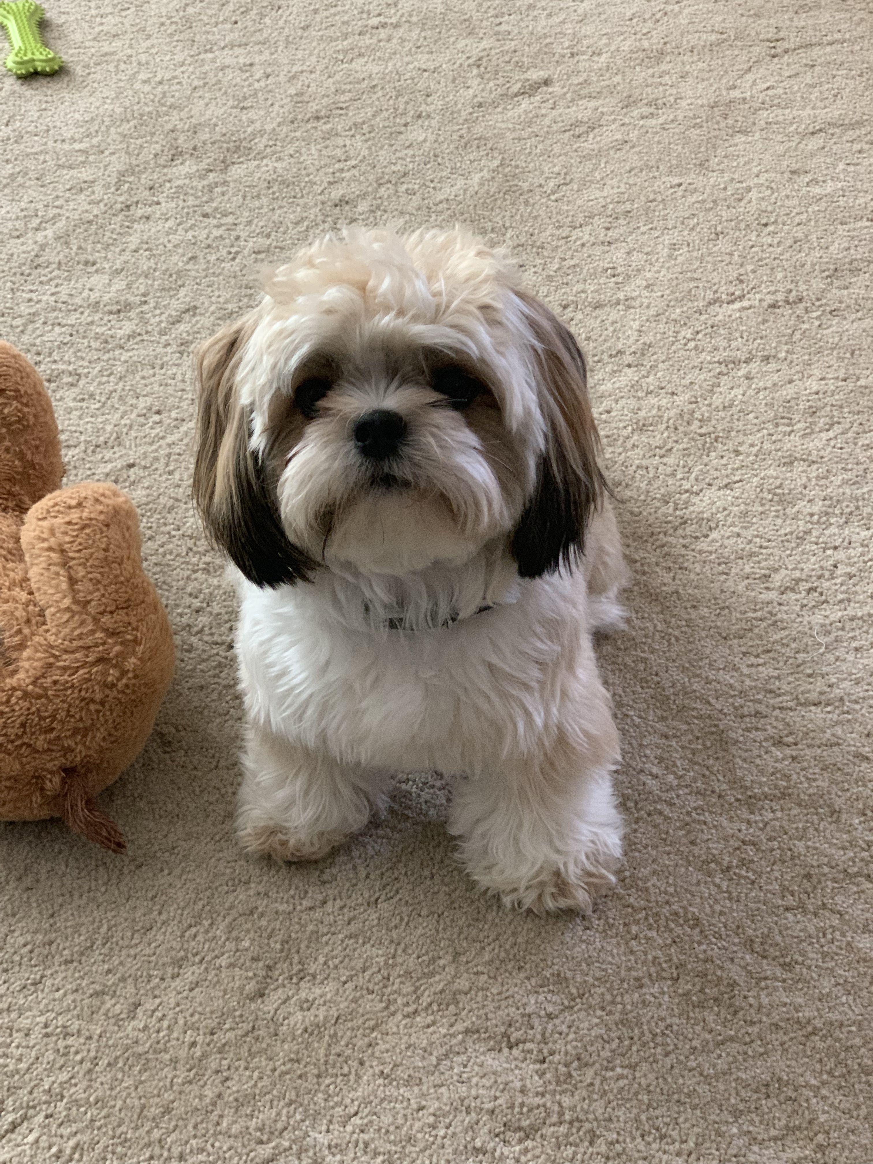 Bentley Puppies Shih Tzu Puppy Cutest Small Dog Breeds