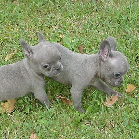 Globetrotters Meet True Blue French Bulldog Pups Blue French