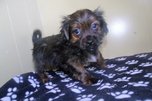 Shorkie Tzu Puppy For Sale In Paterson Nj Adn 28153 On