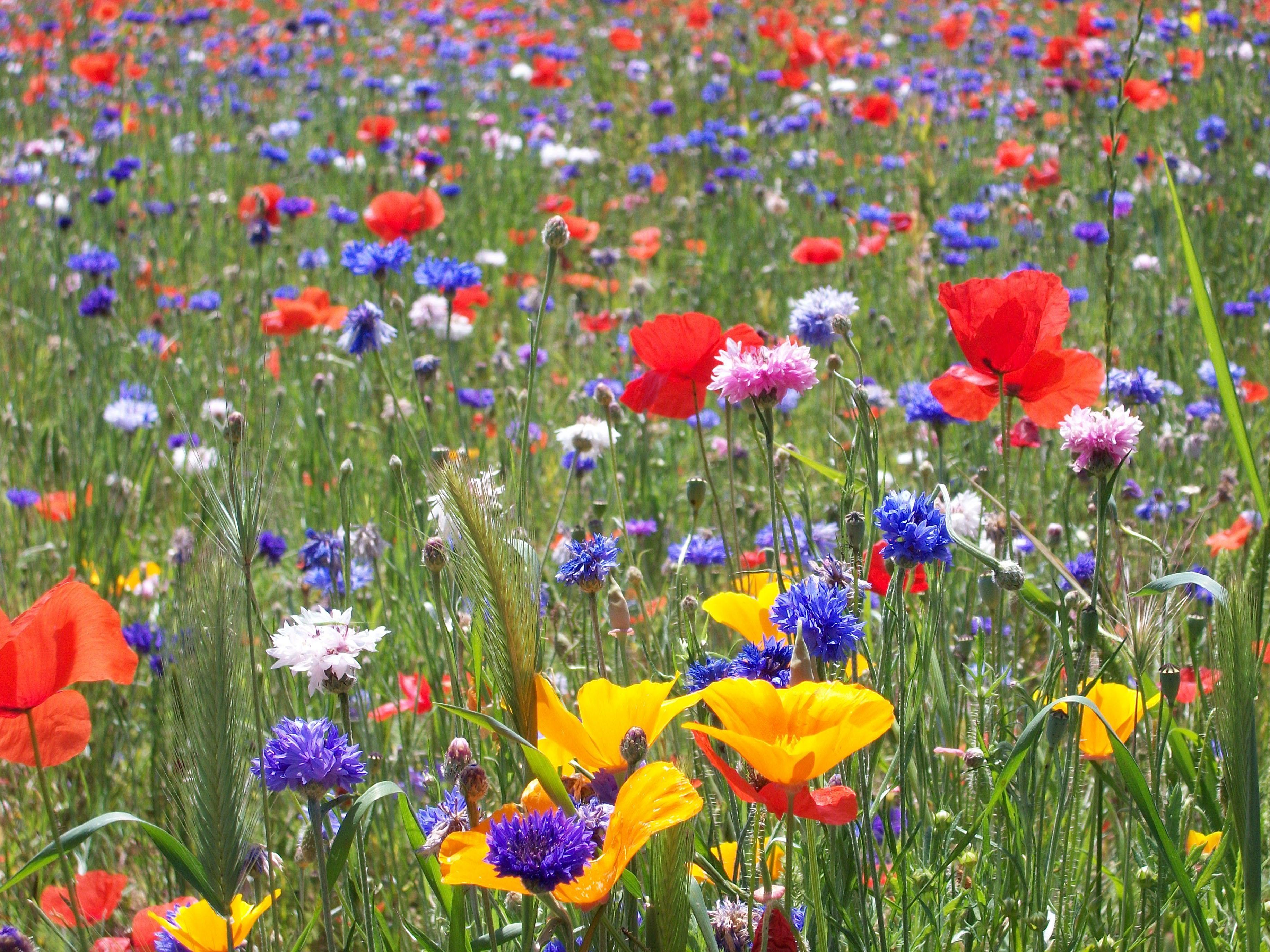 jachère semi naturelle Planter des fleurs, Champ de