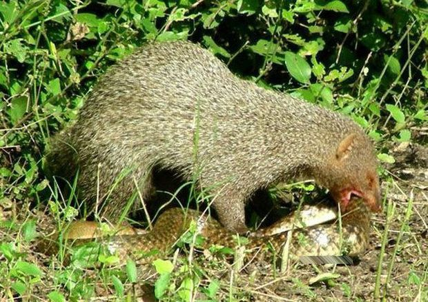 Photos Indian mongoose snakes brutal battle scenes (Photos)